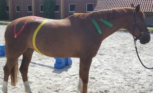 kinesiologisches Taping am Pferd